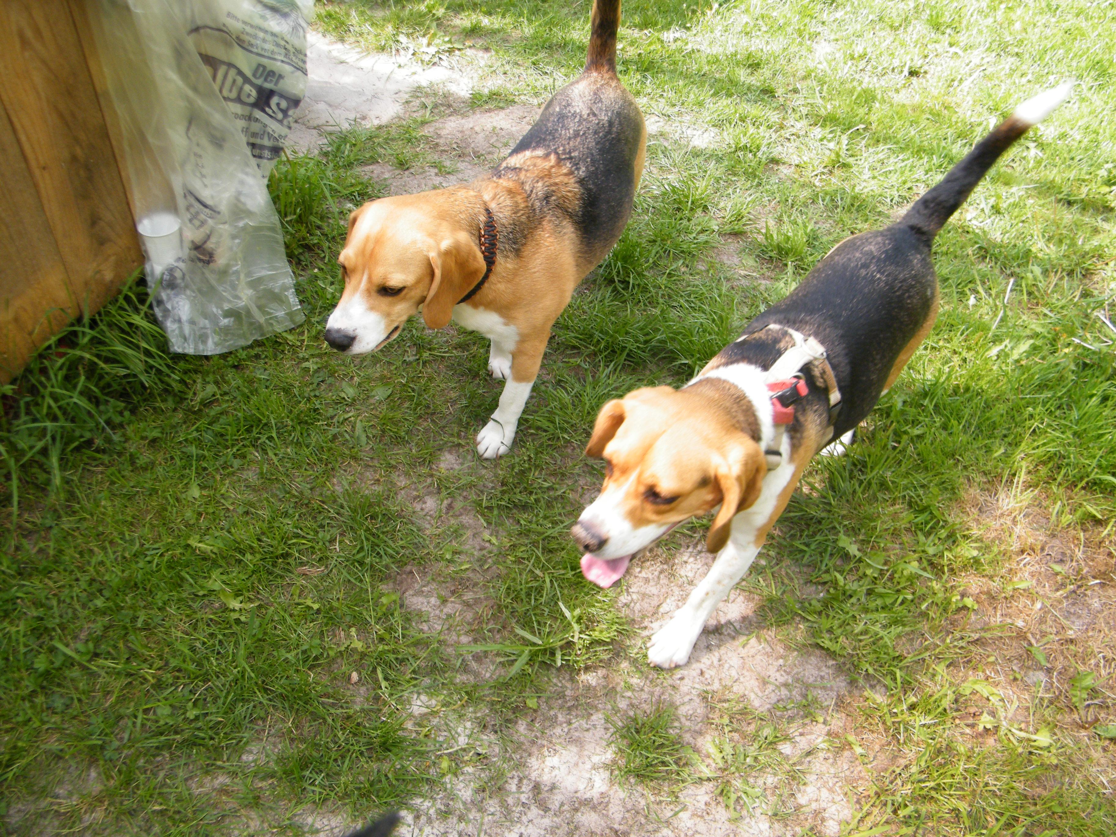 Beagle-2017 (12)