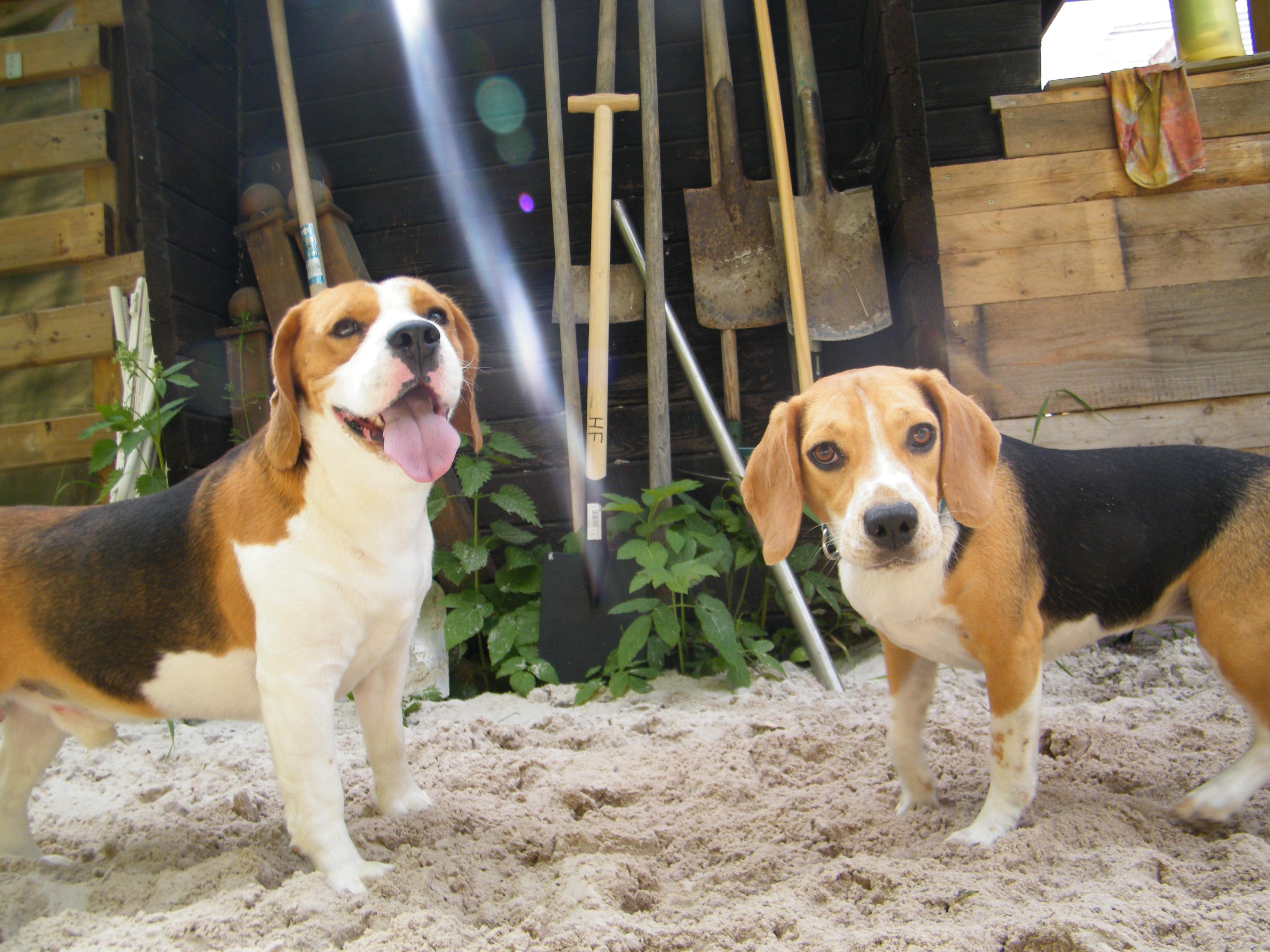 Beagle-2017 (13)