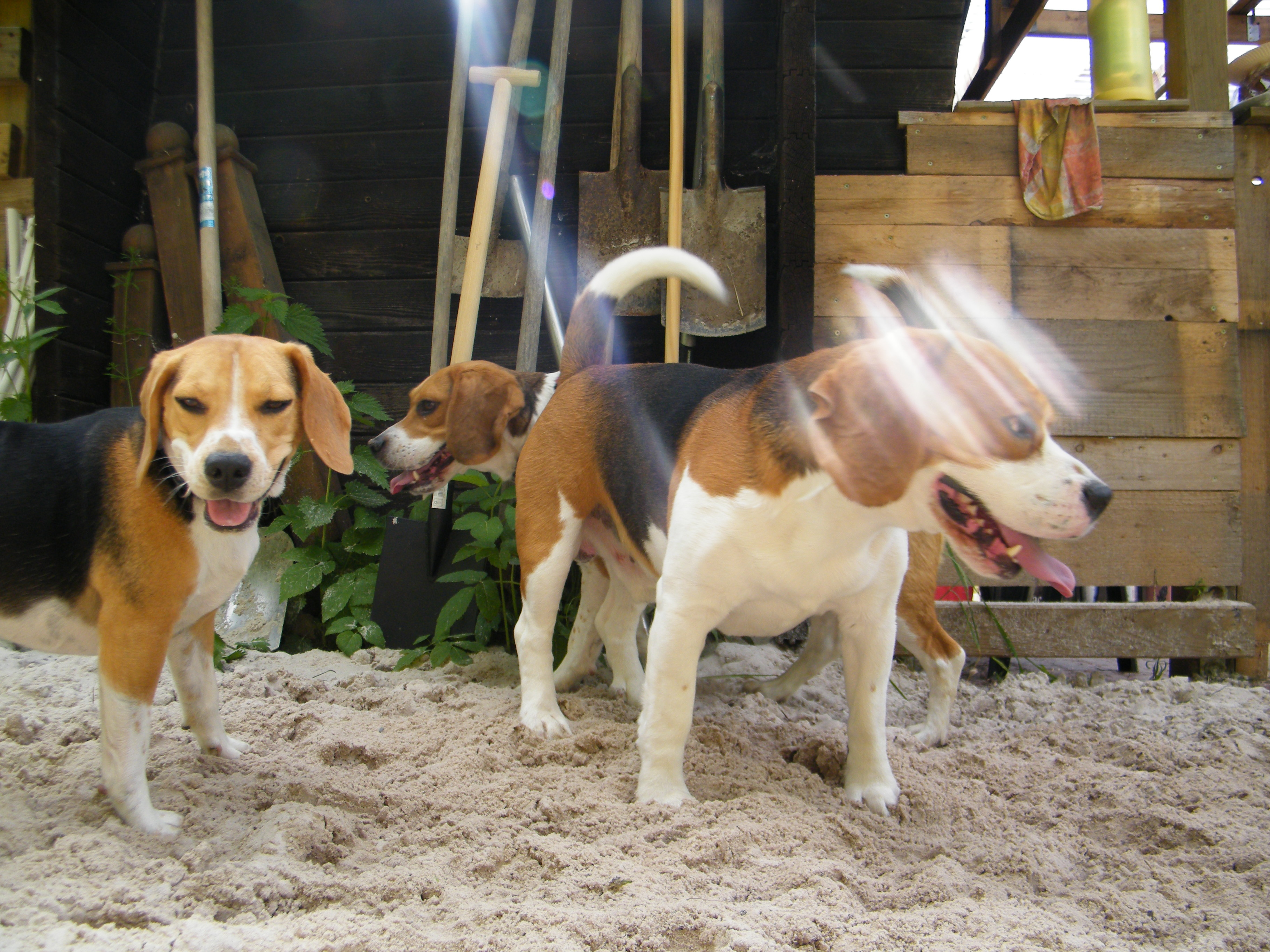 Beagle-2017 (14)