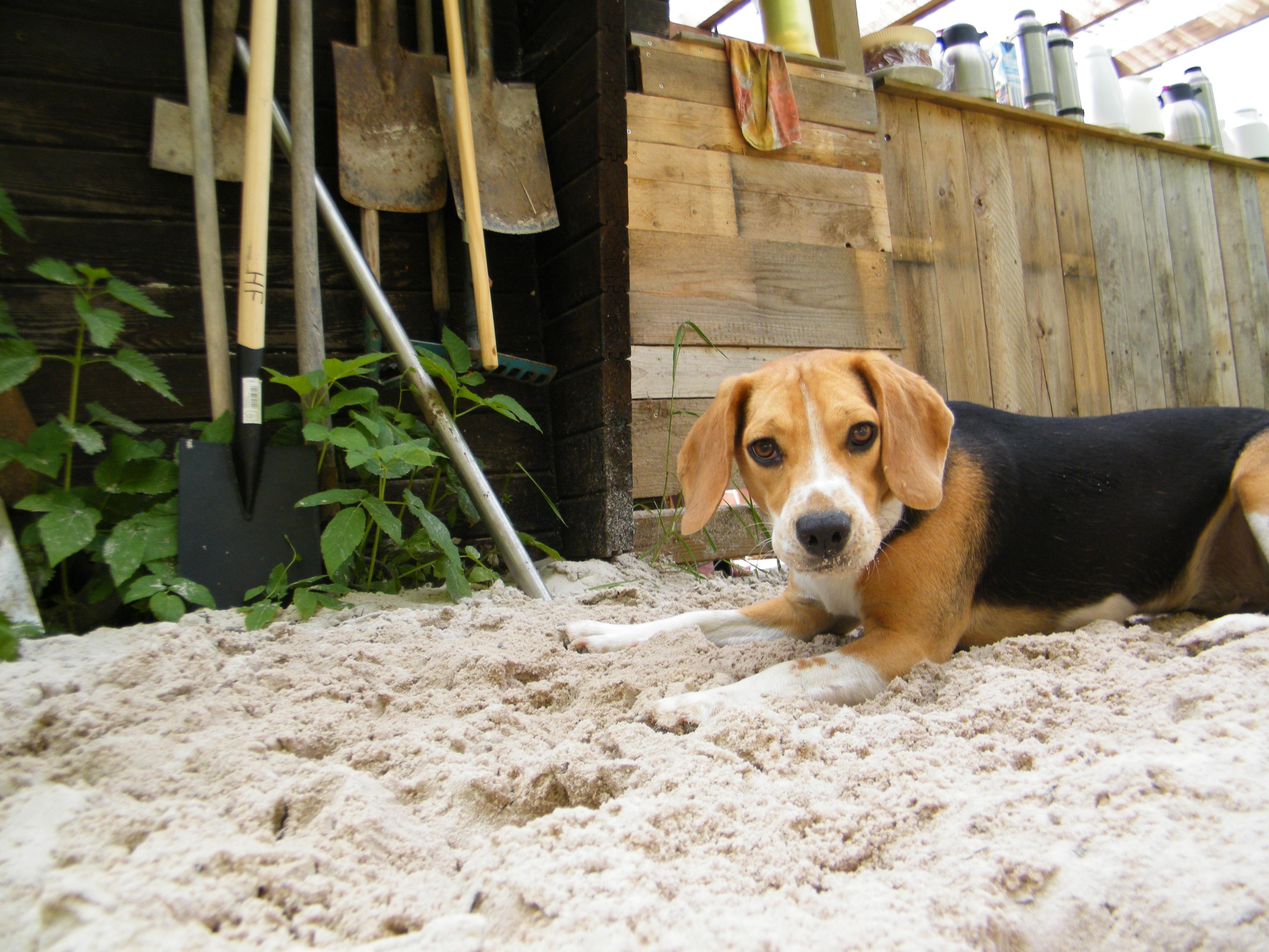 Beagle-2017 (15)