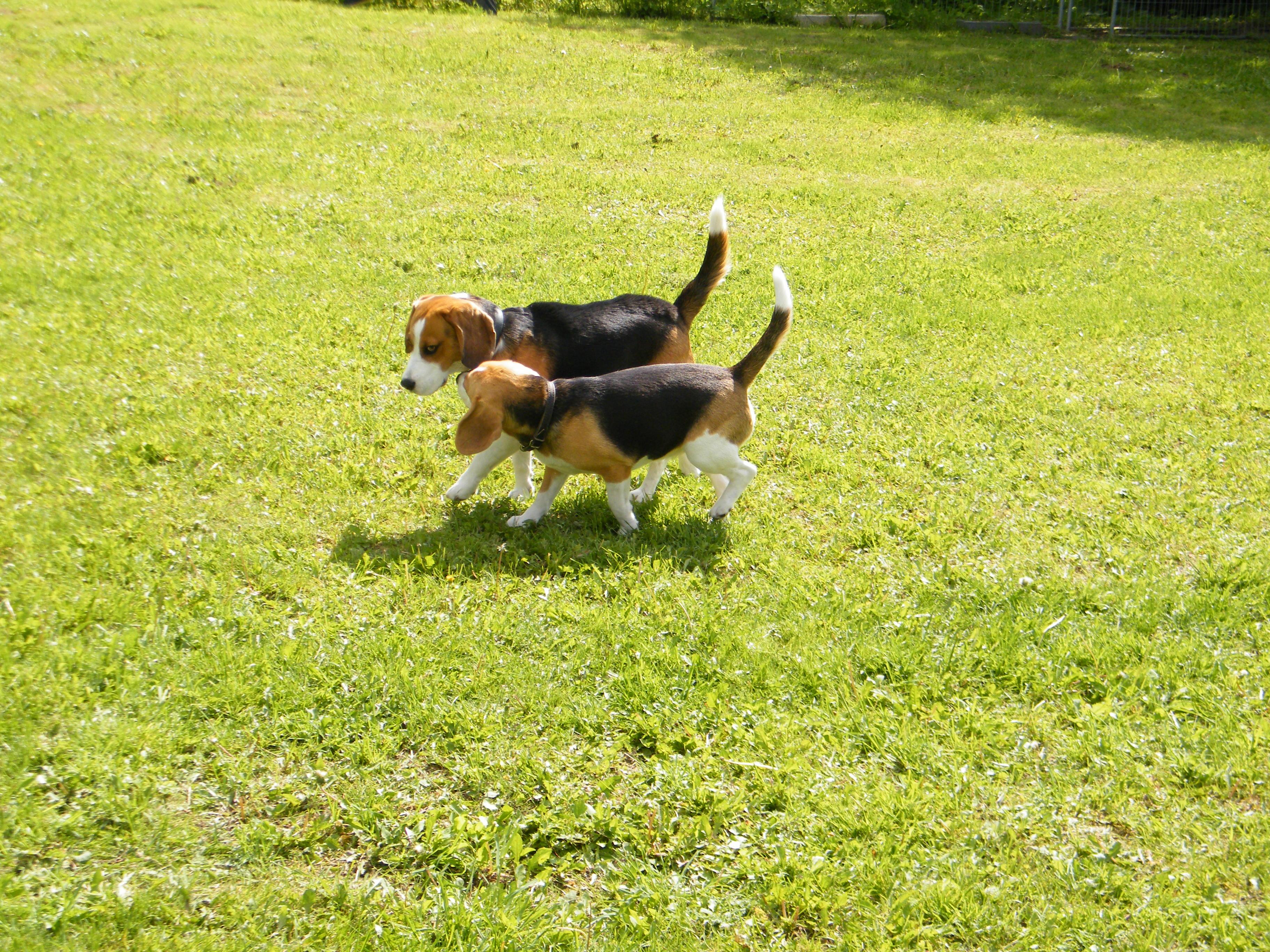 Beagle-2017 (28)