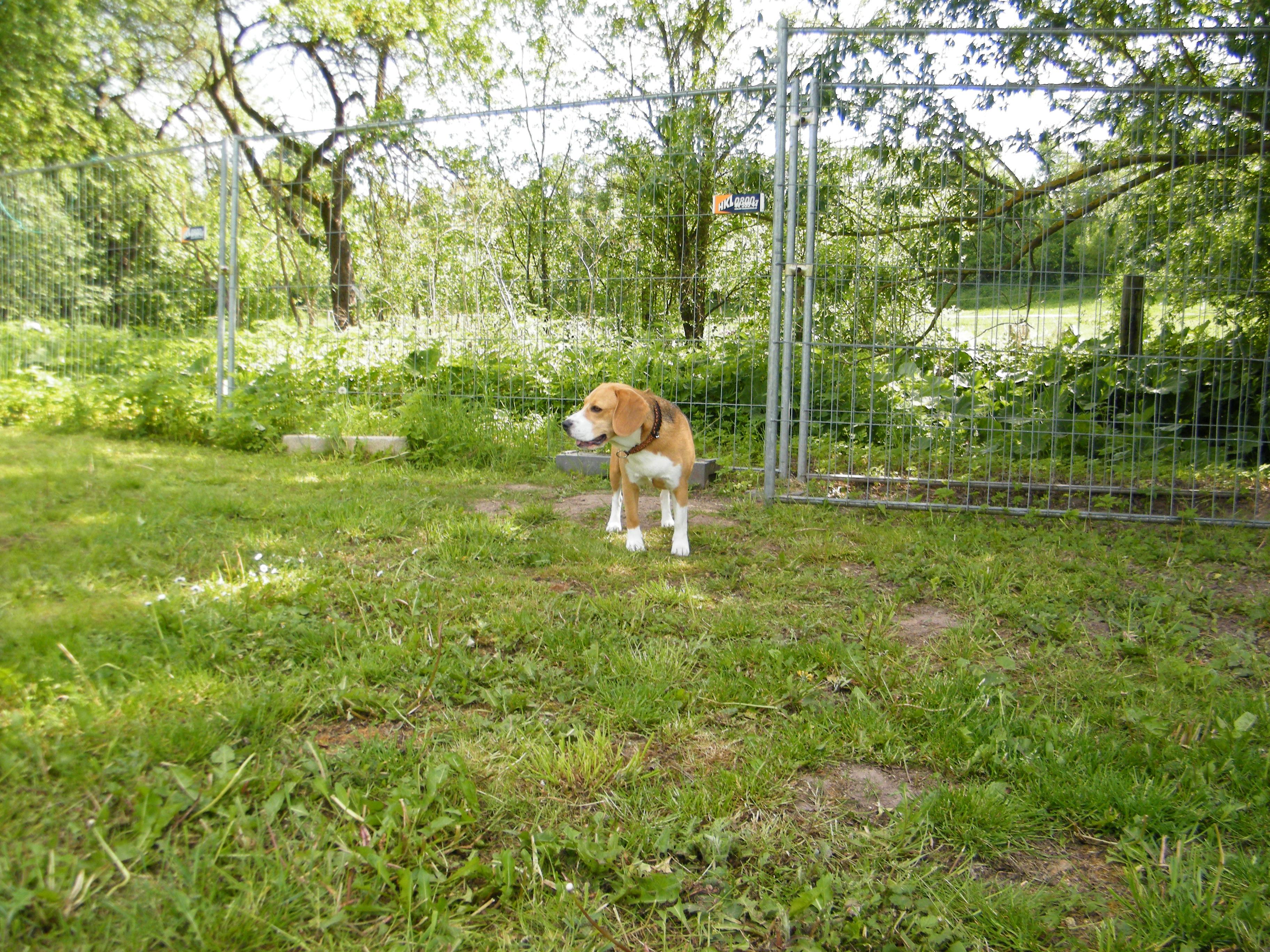 Beagle-2017 (30)