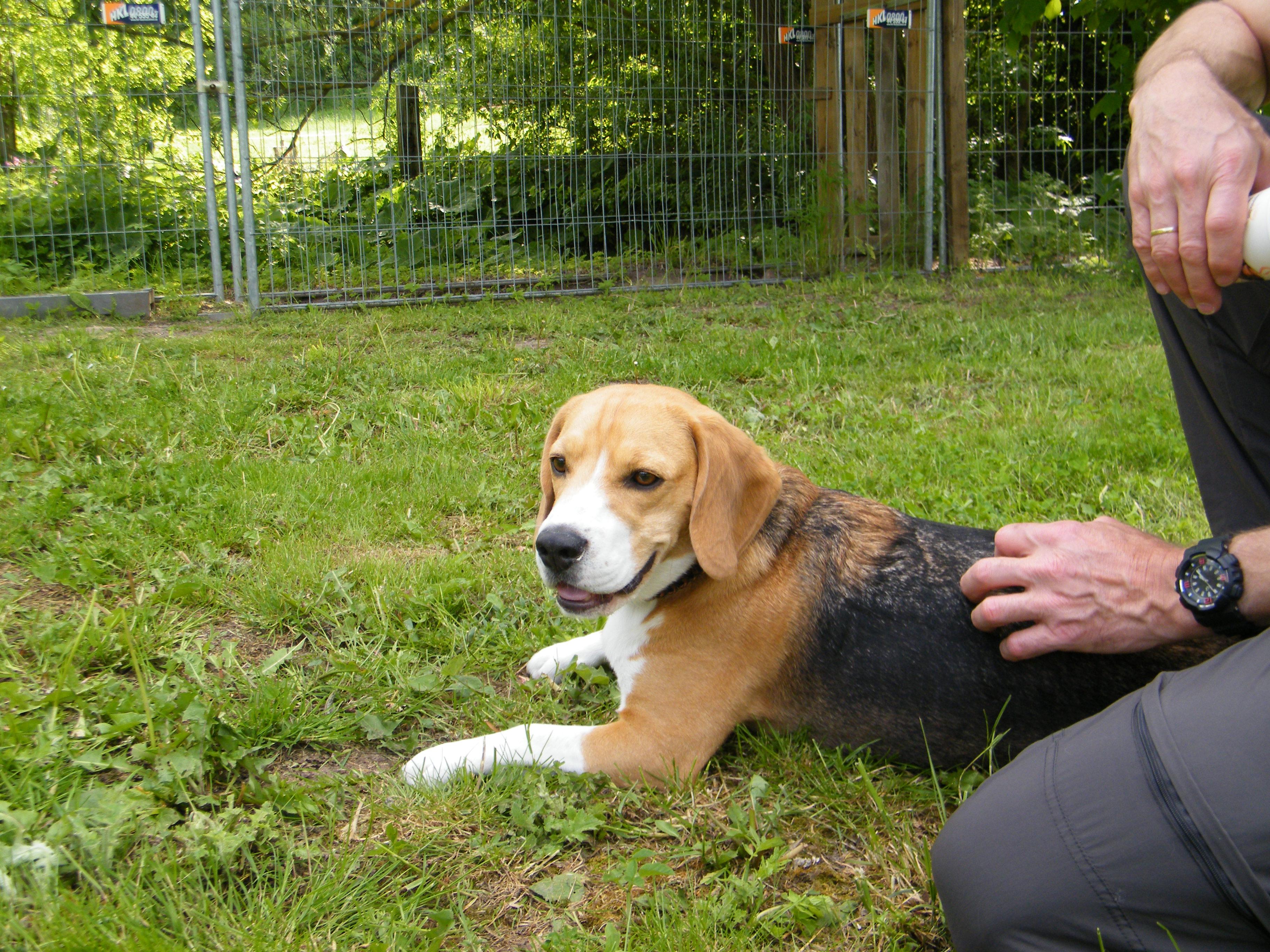 Beagle-2017 (38)