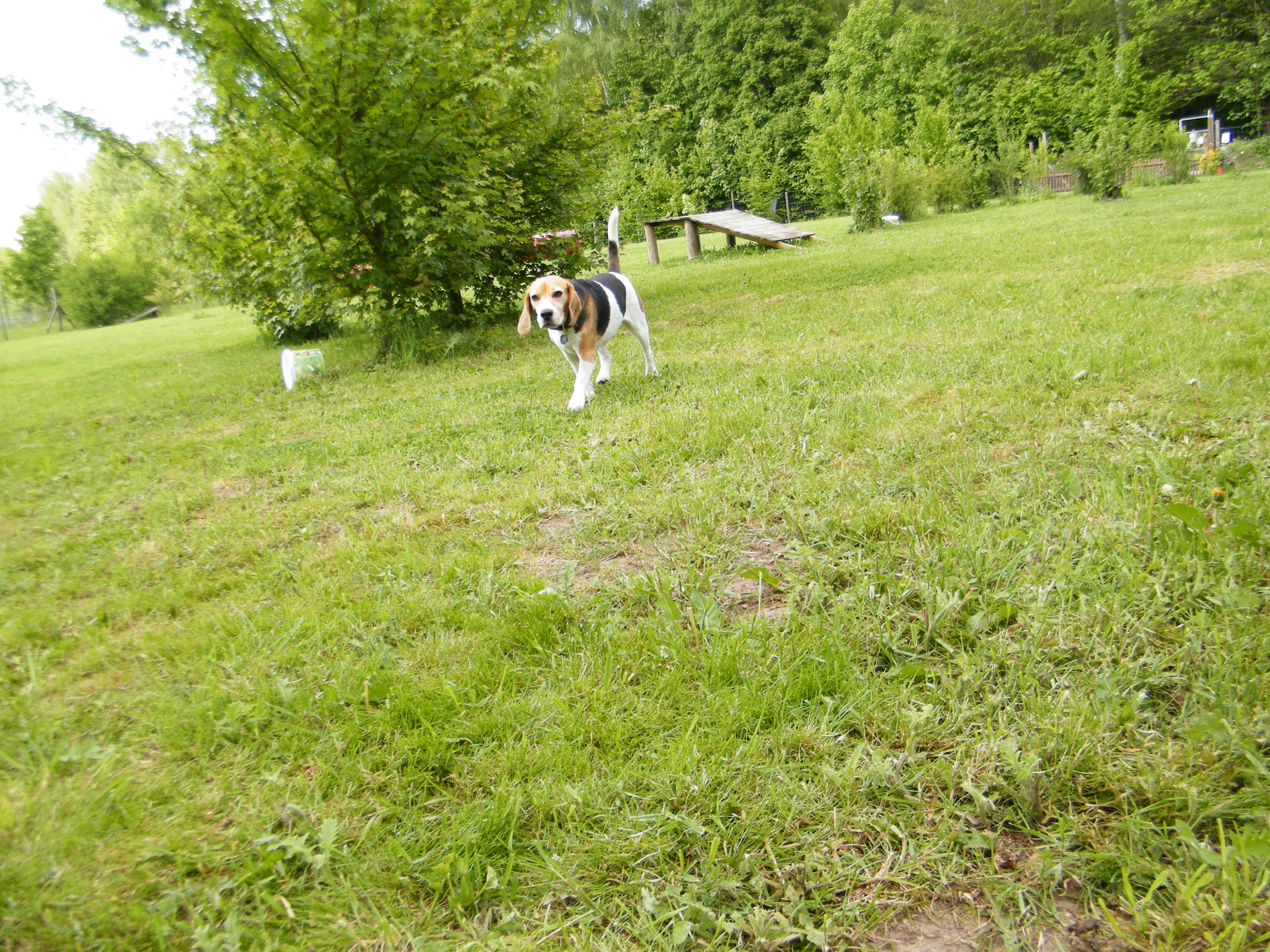 Beagle-2017 (40)