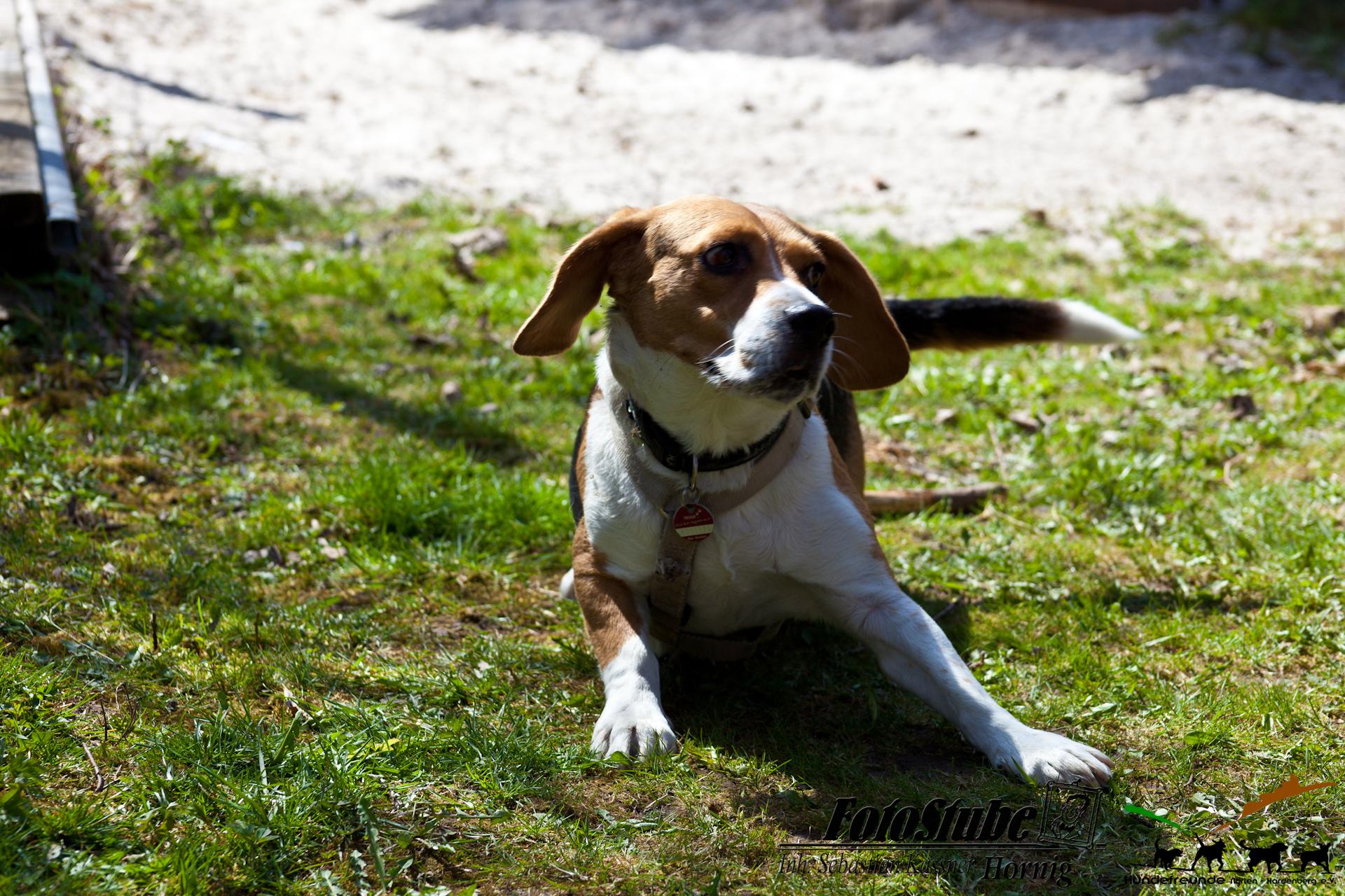 H N-H Beagletreffen2018-303