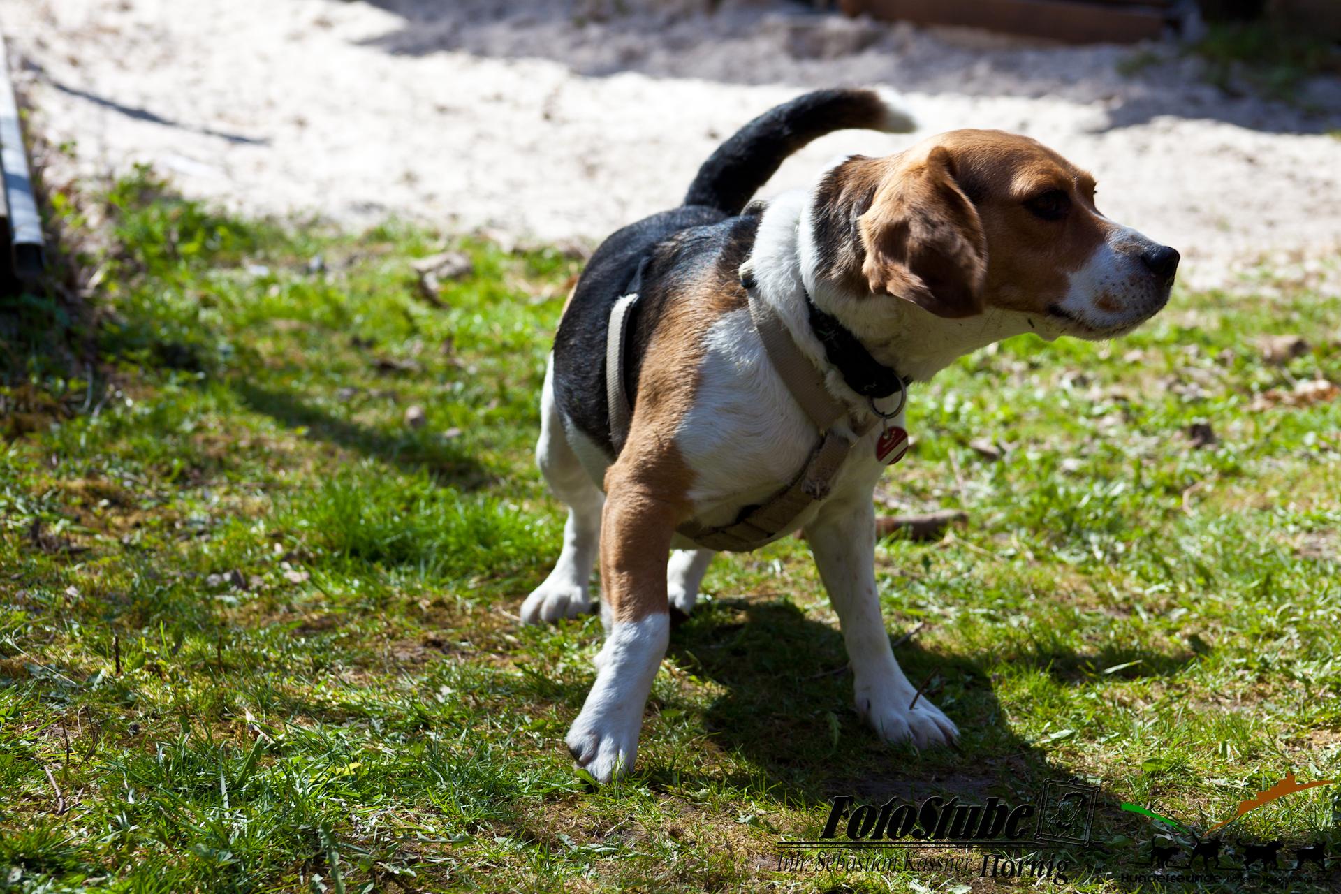 H N-H Beagletreffen2018-304